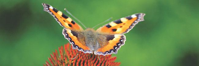 Schmetterling auf einer Knospe