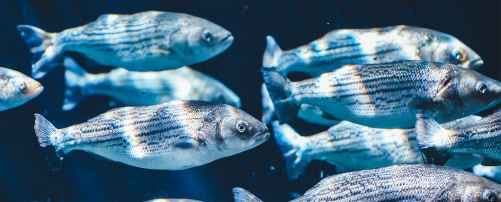 Fischschwarm im Meer- Schwarmdummheit