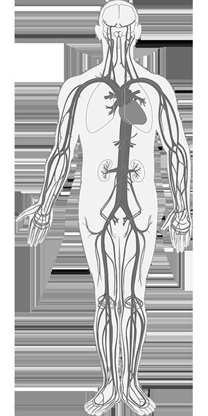 anatomisches_abbild_körper